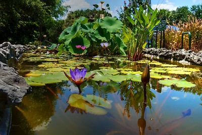 Water Lilies of Japanese Botanical Gardens in Zilker