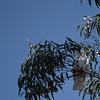 Sulfur Crested Cockatoo