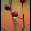 Rain and Rose Hips