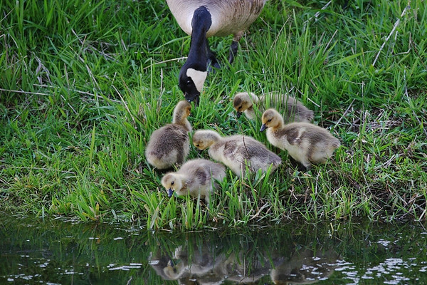 Family of Goslings Feeding at a Creek Bank<br /> <br /> Ridgefield NWR, WA, late spring 2009