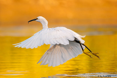 Snowy Egret, Arizona