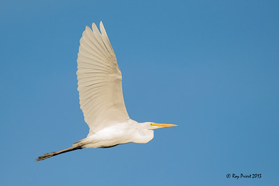 Great Egret Arizona