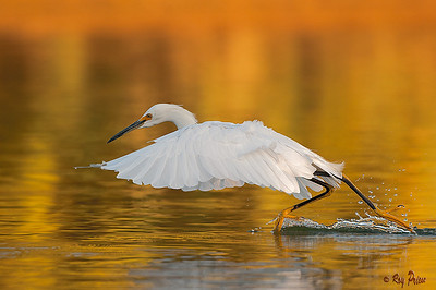 Snowy Egret Gilbert, Arizona