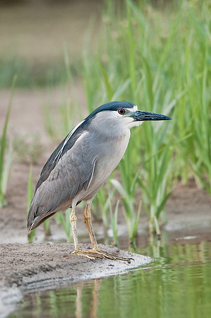 Black-crowned Night Heron. Mauii, Hawaii