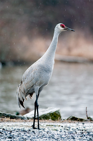 Sandhill Crane in the rain