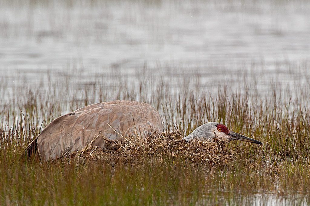 Sandhill Crane on nest, keeping a low profile