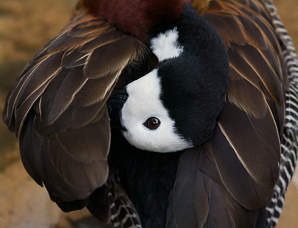 Preening White Faced Whistling Duck