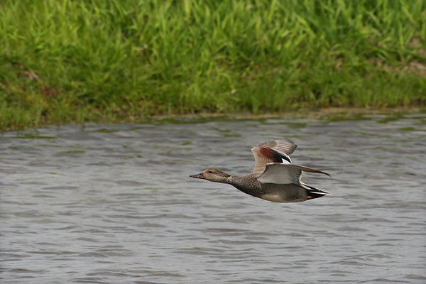Gadwall Gaining Altitude