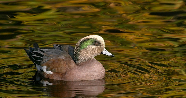 Wigeon on Paisley Lake