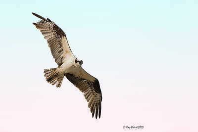Osprey Arizona