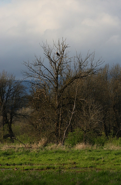 Bald Eagle Bracing for the Storm<br /> <br /> Habitat and behavior shot of a bald eagle stopping before the rainstorm arrives.  This was taken at Ridgefield NWR in Washington state late spring 2009.