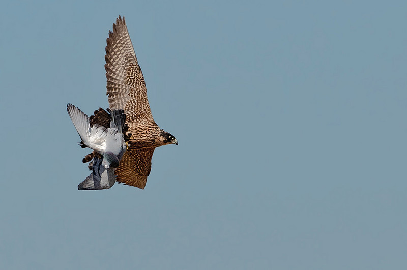Peregrine Falcon with pigeon