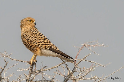 Greater Kestrel Namibia Africa