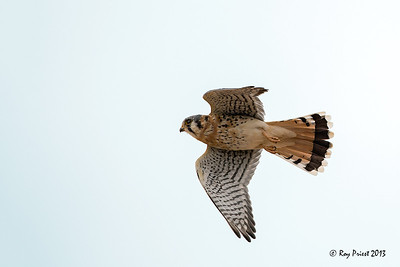 Kestrel, Male Arizona