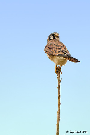 Kestrel, female Arizona