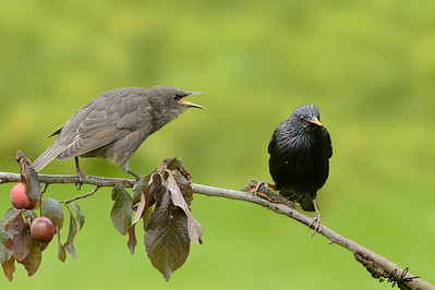 European Starling, Adult and Juvenile