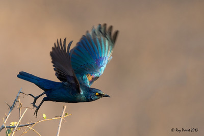 Cape Glossy Starling Namibia Africa