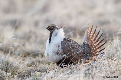 Sage Grouse, Oregon