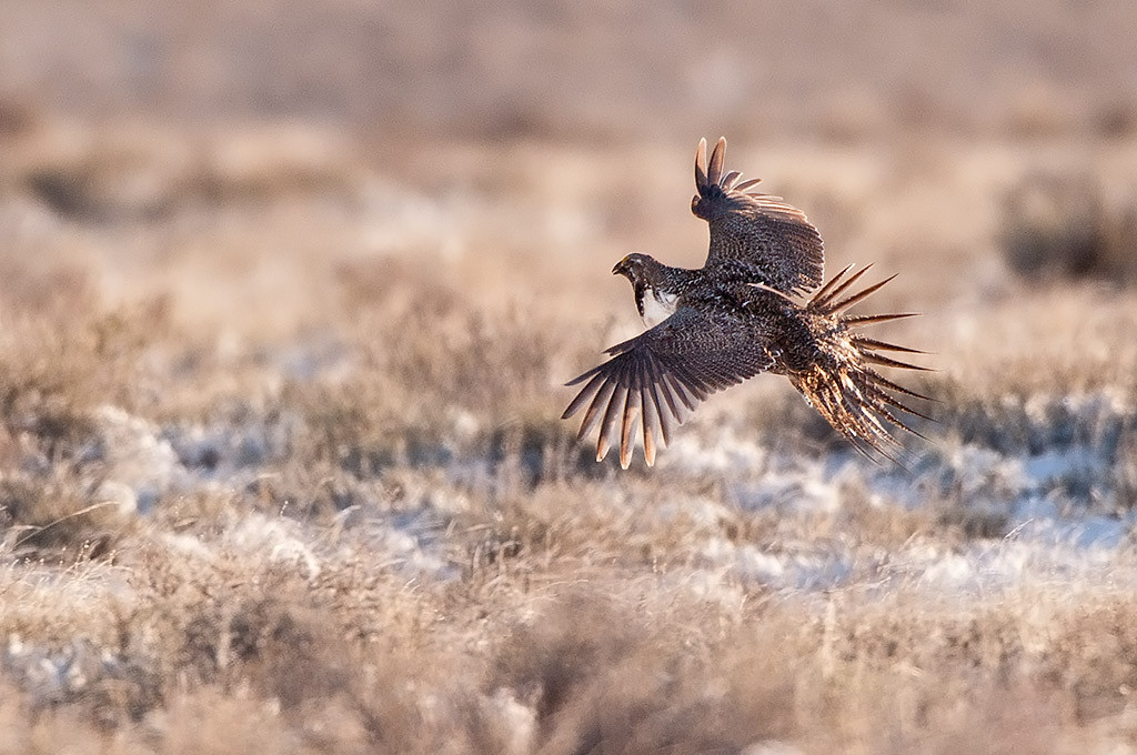 Sage grouse in flight