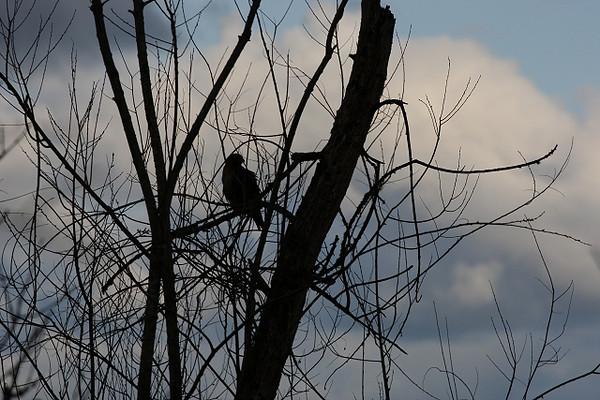 Red Tail Hawk Silhouette<br /> <br /> Ridgefield NWR, WA, late spring 2009