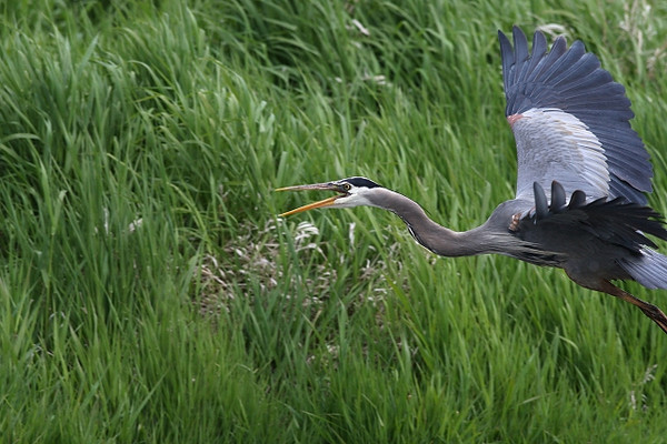 Departing Comments<br /> <br /> Ridgefield NWR, WA, late spring 2009