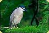 Black-Crowned Night- Heron