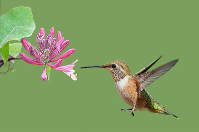Rufous Hummingbird in my backyard.