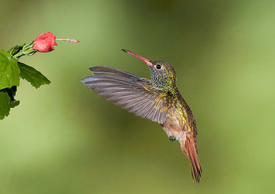Buffbellied Hummingbird Rio Grande Valley, Texas