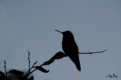 Anna's Hummingbird, Silhouette Queen Creek, Arizona