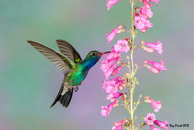 Broad-billed Hummingbird Arizona