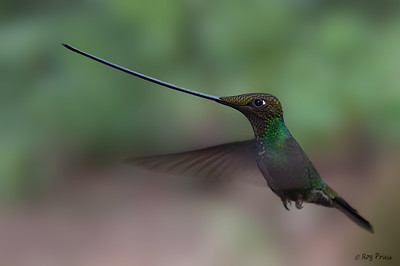 Sword-billed Hummingbird Guango Ecuador
