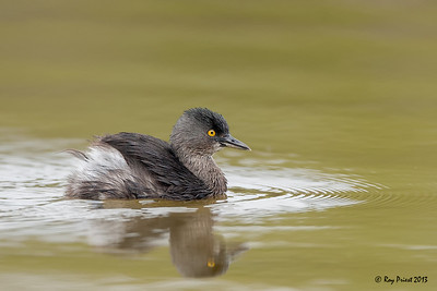 Least Grebe, Texas