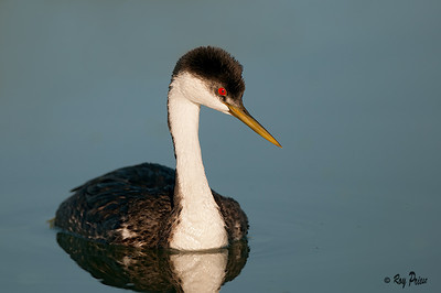 Western Grebe Gilbert Water Ranch, Arizona