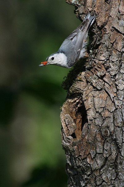 White-Breasted Nuthatch with Food for Nestlings