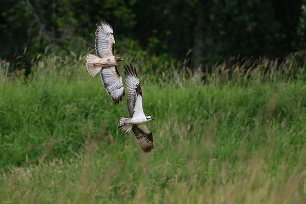Osprey Chased Out of Red-Tail Territory