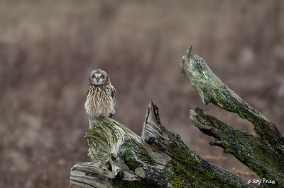 Short-eared Owl Boundary Bay B.C.