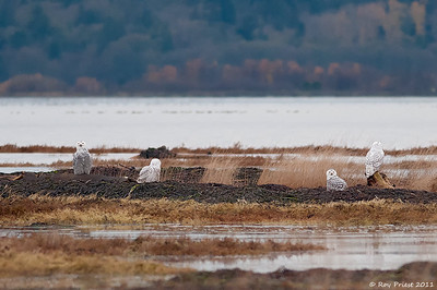 Snowy Owls, one is hidden in the grass. Boundary Bay, B.C.