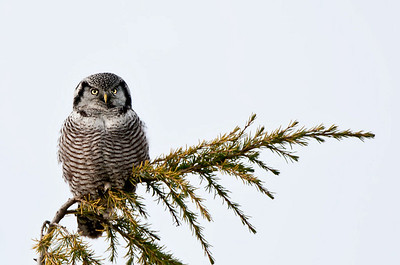Northern Hawk Owl Westham Island