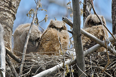 Great Horned Owlets in nest Malheur, WA