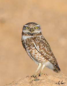 Burrowing Owl Arizona