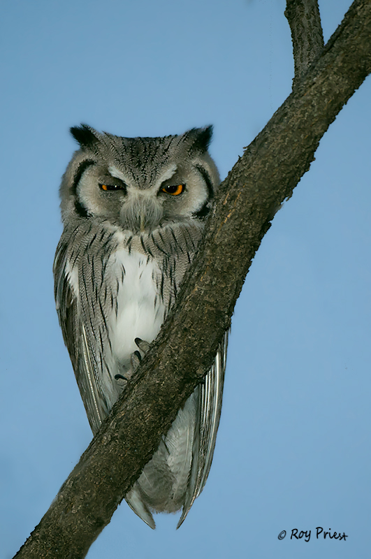 Southern White-faced Scops Owl Namibia, Africa