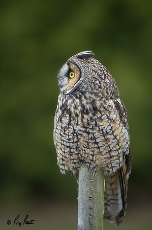 Long-eared Owl Delta