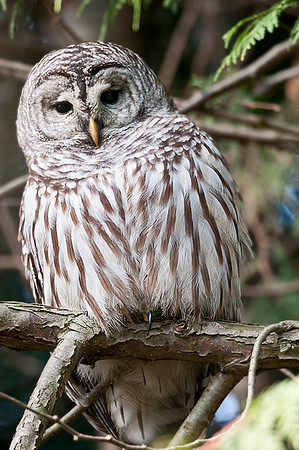 Barred Owl Alasken