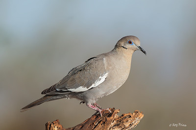 White-Winged Dove Elephant Head Pond Arizona