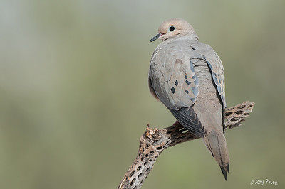 Mourning Dove Elephant Head Pond Arizona