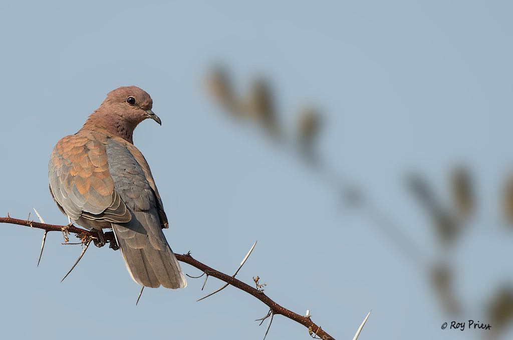Laughing Dove<br /> Namibia