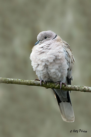 European Collared Dove Delta, B.C.