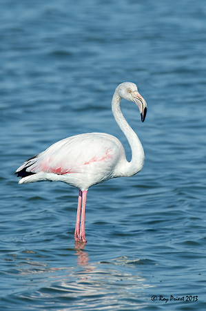 Greater Flamingo Namibia Africa