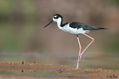 Black-necked Stilt,  Gilbert Water Ranch, Gilbert,Arizona,