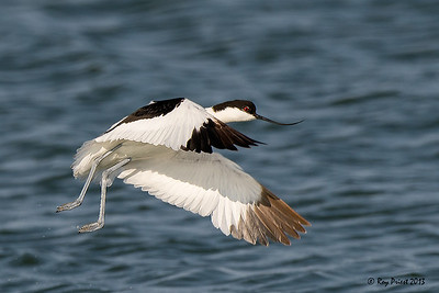 Pied Avocet Namibia Africa